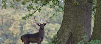The deer of Epping Forest